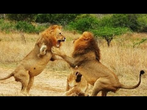 Lions Fight to Death || Top brutal animal fights