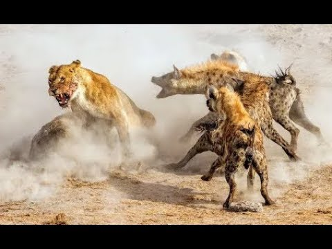 Lions attack hyenas - Animal fights
