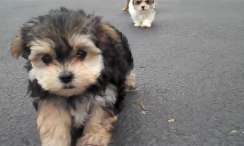 Martin, Beyonce, Lolo, Jojo, Sophie Cutest Puppies for sale!