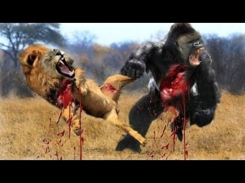 Most Amazing Wild Animal Attacks #13 - Gorilla Fighting, Lion vs Buffalo - CRAZIEST Animal Fights