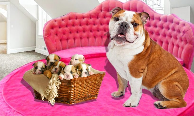 Mother English Bulldog in labor and gives birth to many cute puppies  Cute dog videos