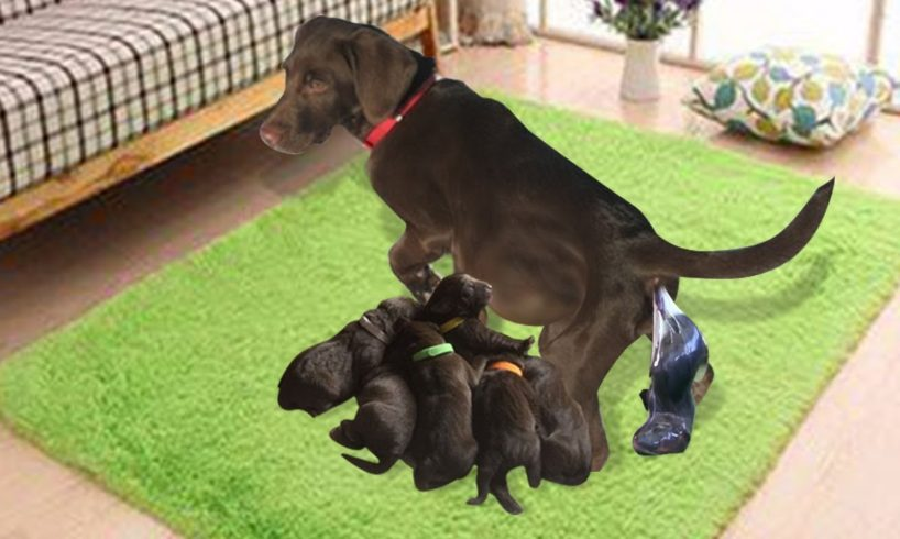 Our Chocolate Labrador Retriever Gives Birth To 7 Cute Puppies