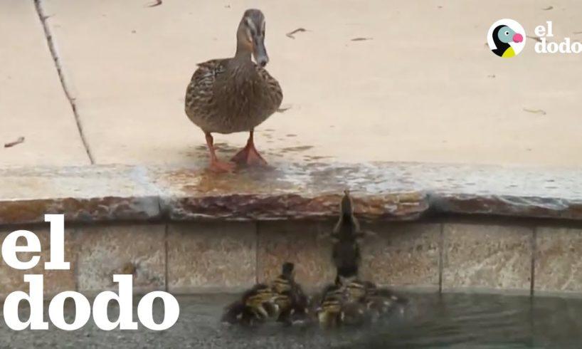Pata mamá se desespera cuando sus bebés quedan atrapados | El Dodo