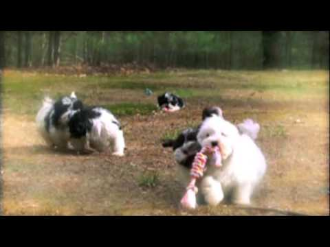 Peace Love/Blossom Havanese on Too Cute Puppies Episode