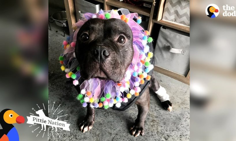 Pit Bull Rescued From Dogfighting Slowly Turns Into The Happiest Pup | The Dodo Pittie Nation