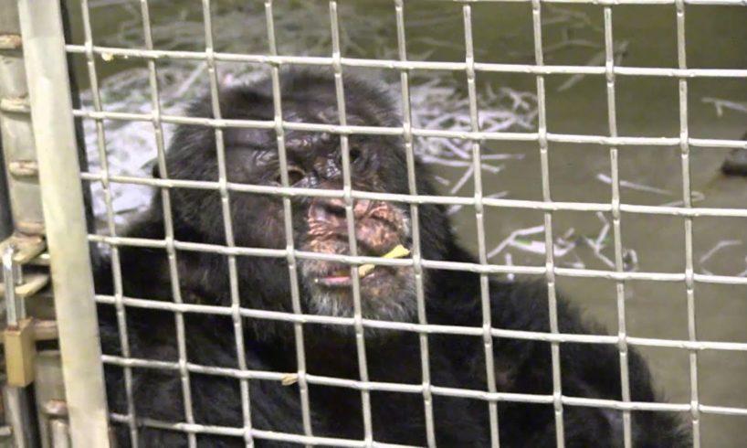 Rescue of Iris the Chimpanzee | PETA Animal Rescues