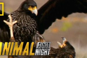 Rooks and Rookies   Animal Fight Night