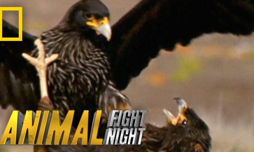 Rooks and Rookies | Animal Fight Night