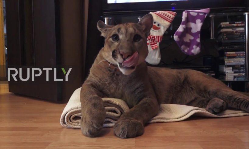 Russia: Couple adopt pet Puma named Messi