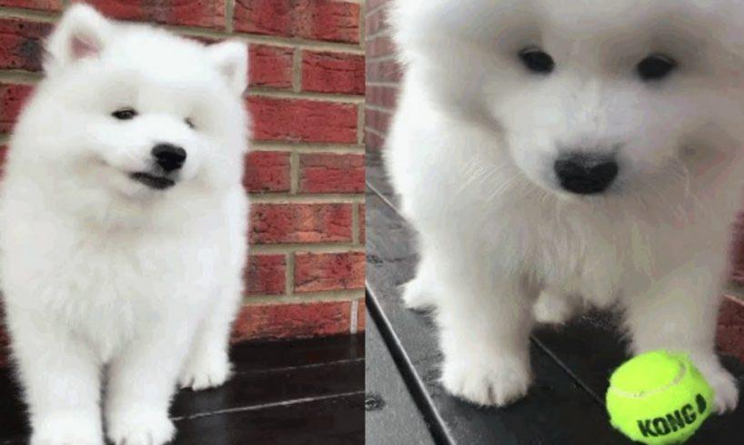 Samoyed 🐶 Cute Samoyed Puppies Compilation