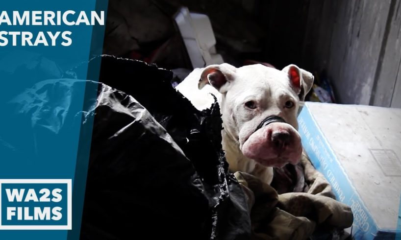 Scared Pit Bull With Mouth Taped Shut Rescued by Animal Cops Detroit - Hope For Dogs | My DoDo
