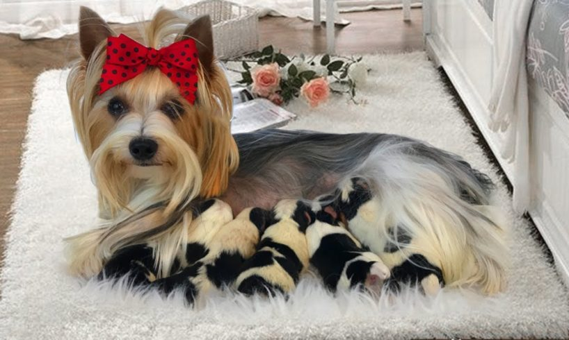 Teacup Yorkie delivers many cute puppies- Dog Giving Birth Video