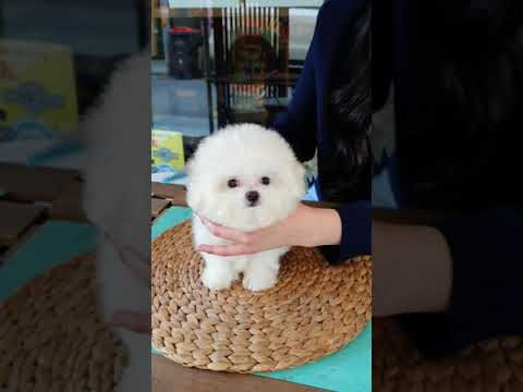 The world's cutest bichon frise lovely and cutest puppy - Teacup puppies KimsKennelUS