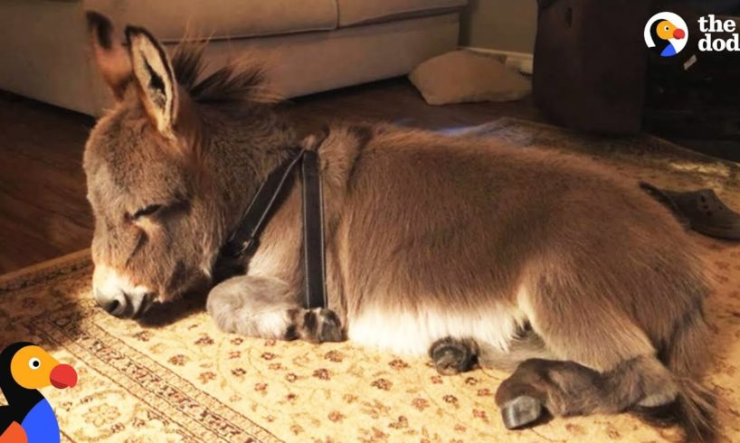Tiny Donkey Thinks He's Actually A Dog  | The Dodo
