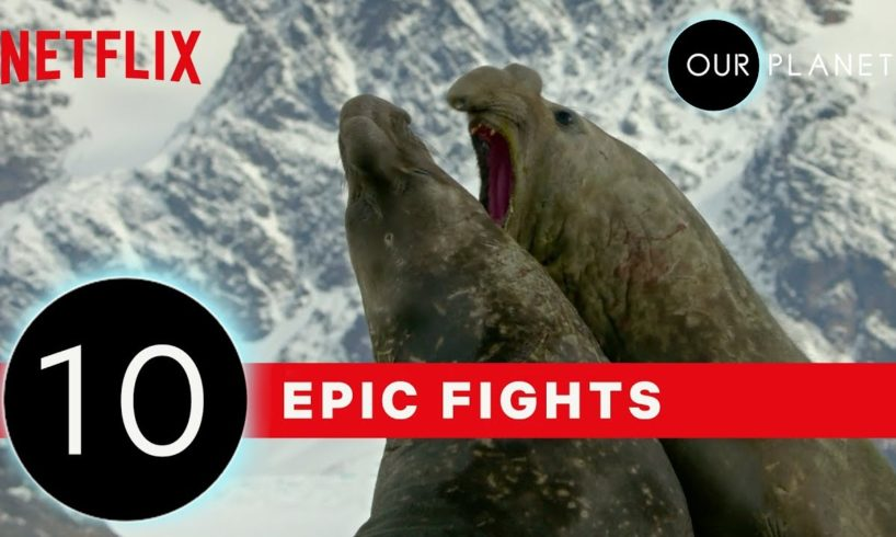 Top 10 Craziest Animals Fights in the Wild | Our Planet | Netflix