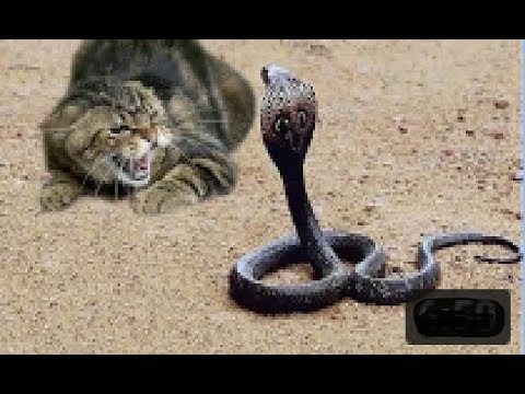 Top 10 animal fights CAT and SNAKE