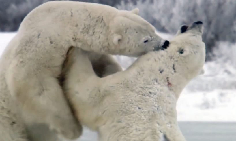 Top Five Animal Fights   Earth Unplugged