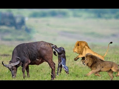 Wild Animals Fights | Male Lion vs Buffalo, Video African Animals