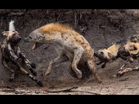 Wild dogs attack hyenas! Animal Fights