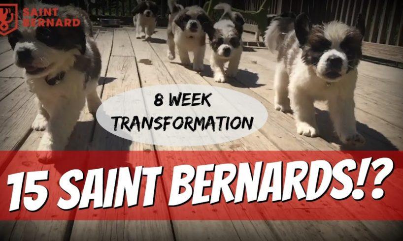 World's Cutest Puppies - Owning 15 Saint Bernards
