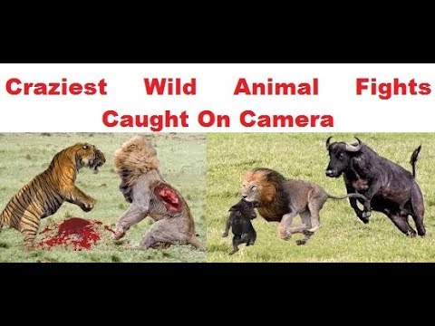 best of wild animal fight to death compilation 2019 | CRAZIEST Animal Fights Caught On Camera 2019
