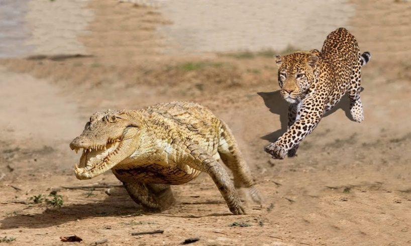 Amazing Jaguar Hunting Crocodile While Sleeping   Big Battle Animals Real