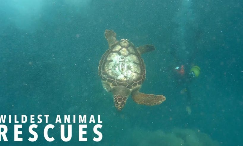 Amputee Turtle's Epic Adventure | WILDEST ANIMAL RESCUES