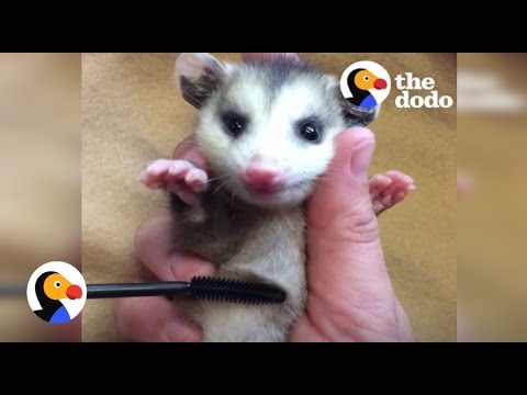 Baby Animals Rescued with Mascara Brushes | The Dodo