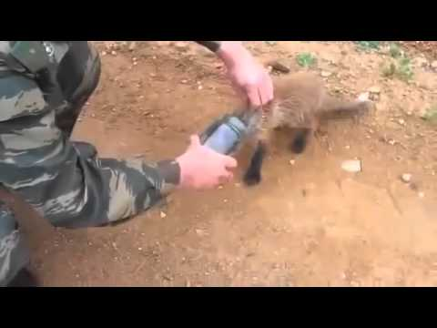Baby Fox Rescued from Jar Funny Animals Funny Animal Videos