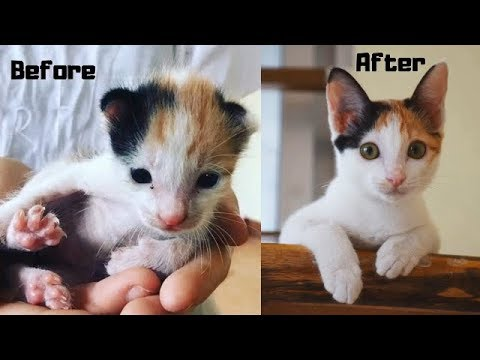 Before and after cat rescued by Animal Rescue Cambodia