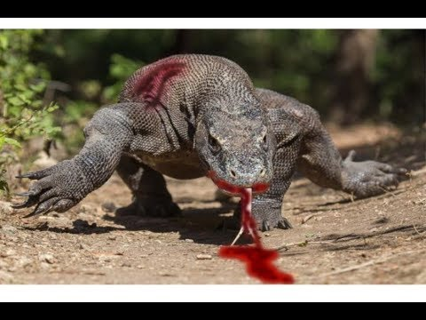 Brutal Monitor Lizard and Snake Fight- Animal Fights 2018