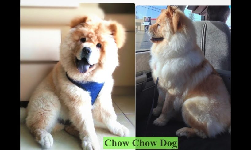 Chow Chow Fun and Happy Dog Cutest Funny Puppy - Pet Animal