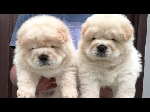 Cream and Off White Color Chow Chow Cute Puppies Playing India ! Dogshub