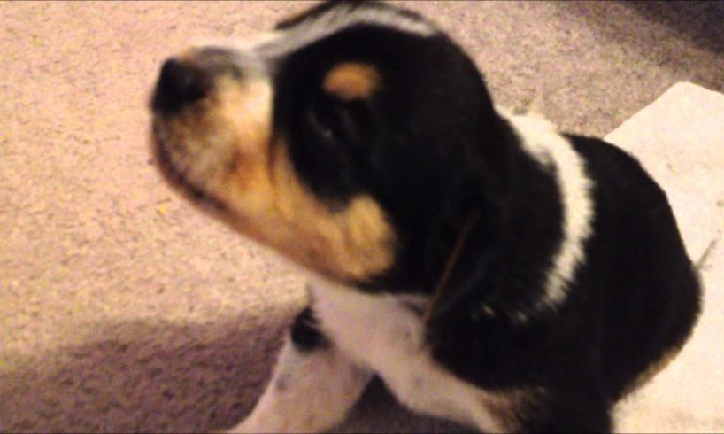 Cute 17 day old Puppies making small howl sounds for the first time