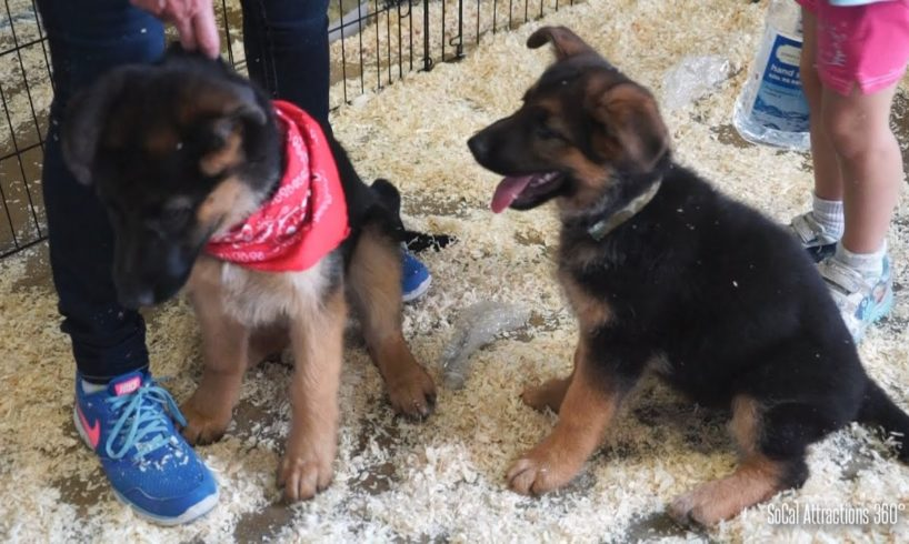 Cute Puppies Playing Around - German Shepherd Puppies - Pet Expo
