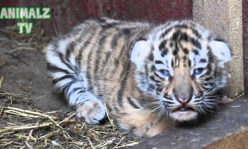 Cute Tiger Cubs - Cute Baby Animals [NEW HD VIDEO]