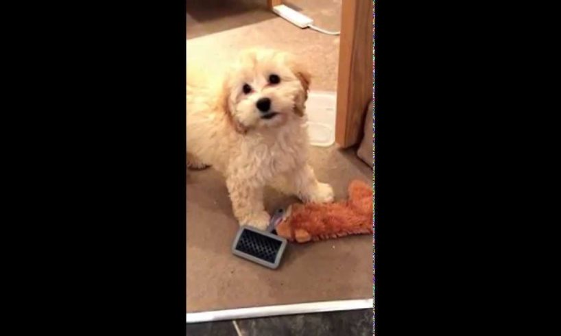 Cute puppies doing funny things: Cute cockapoo puppy going mental around the house!