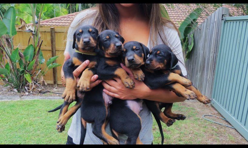 Doberman Puppies: Birth to 8 weeks old