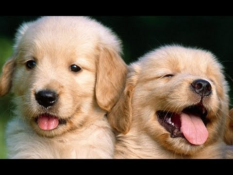 Funny And Cute Golden Retriever Puppies Compilation - Cute Puppies Doing Funny