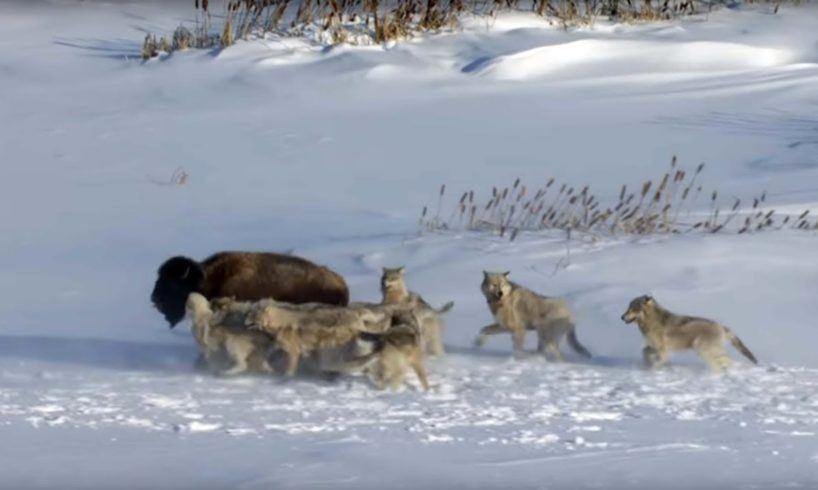Pack Of Wolves Hunt a Bison | Frozen Planet | BBC Earth