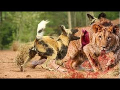 Real Animal fights! WildDog VS Lion, Leopard hunts Deer then    Animal Fights