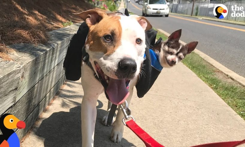 Rescue Dog Carries Senior Dog Best Friend On Walks | The Dodo + Clear The Shelters