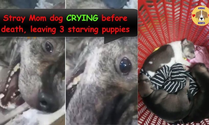 Stray Mom Begs for Food was Beaten, Crying before Death - leaving 3 Starving Puppies