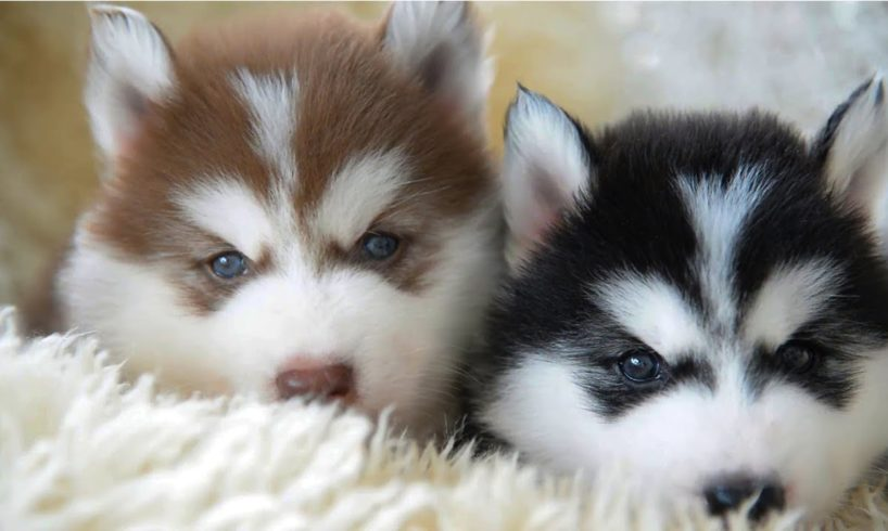 The Cutest Husky Puppies Ever 🐶 Amazing Cute Funny Dogs 2019 🐶 Cute Boss