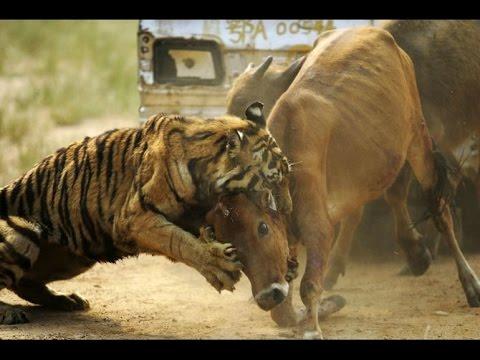 Wild Animals Fighting To Death (Deadliest)
