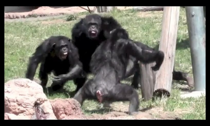 animal fight : Chimpanzee fight