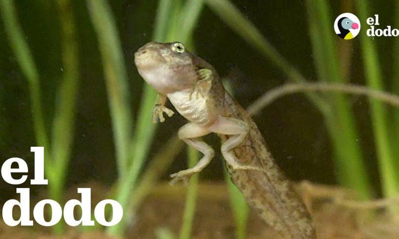 ¿Has visto una transformación de renacuajo a rana? | El Dodo