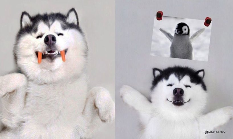Funny And Cute Husky Puppies Compilation - The most funny dog #2