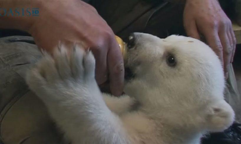 Adorable Baby Polar Bear! | Baby Animals | Love Nature