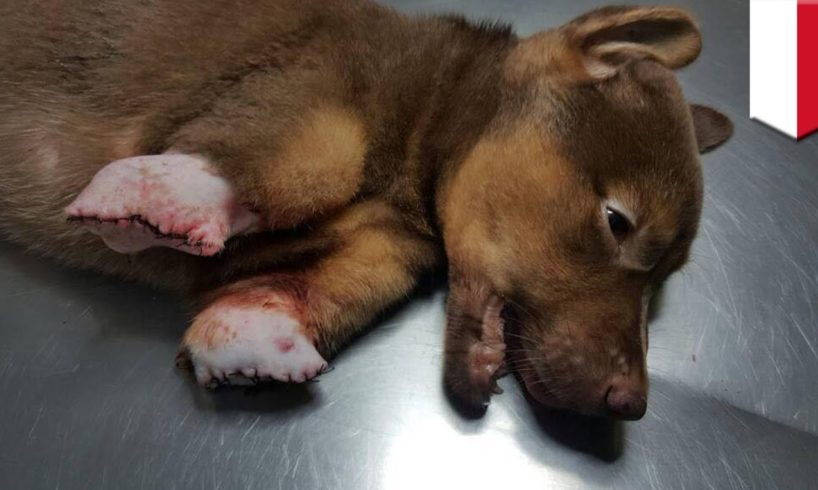 Animal abuse: mutilated puppy in Bangka rescued by an animal rescuers from Jakarta - TomoNews
